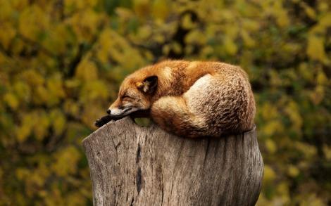 fox-1284512_1920